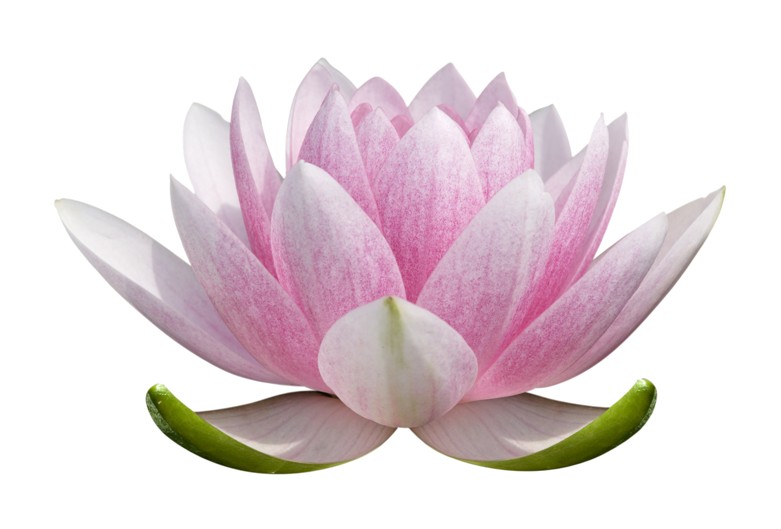 Lotus flowers png. Flower images free download