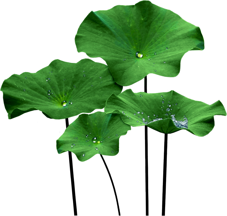 lotus leaf png