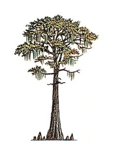 Taxodium distichum bald with. Louisiana clipart cypress tree royalty free library