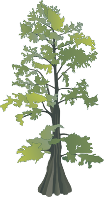 Wetlands drawing cypress tree. Taxodium distichum bald treesshrubs