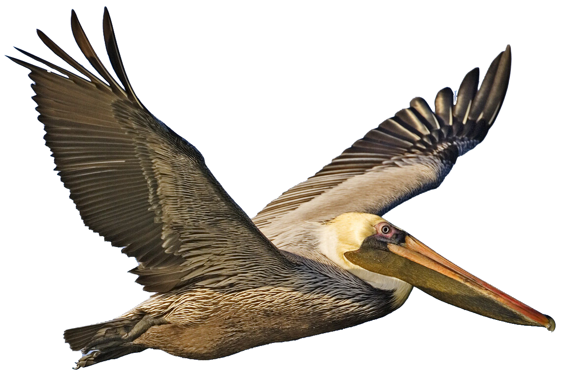 Louisiana drawing brown pelican. Clipart ideas for the