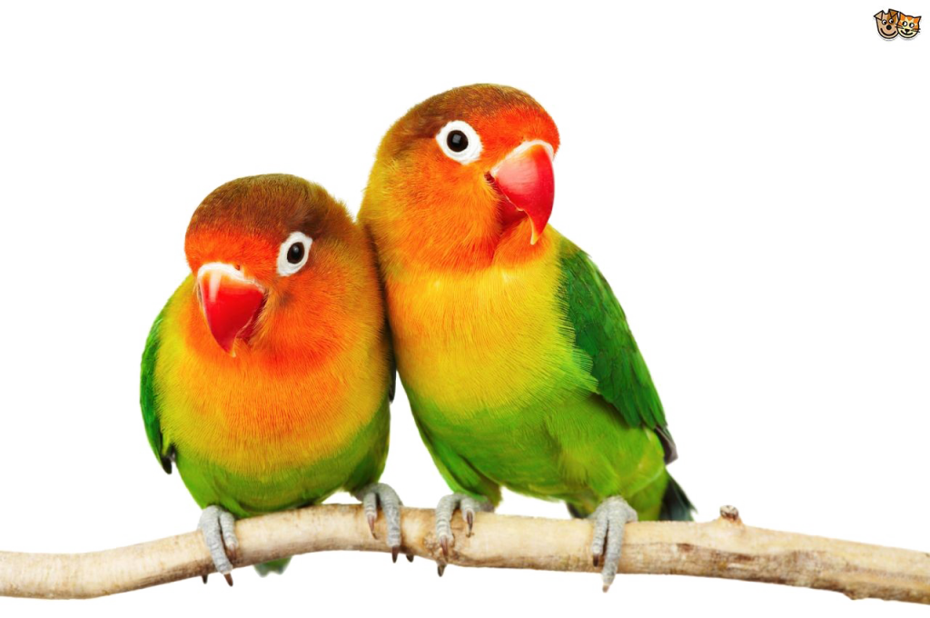 Love birds png. Pic vector clipart psd