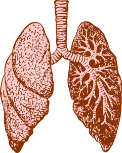 Big clipart intestine. The lungs and large