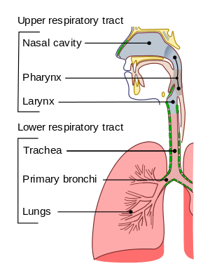 Cancer clipart respiratory problem. Upper tract infection wikipedia