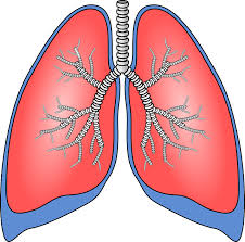 lungs clipart respiratory system