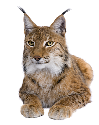 Lynx vector abstract. Download free png image