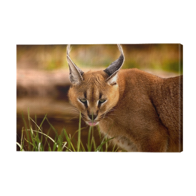 Lynx vector caracal. Animal canvas print pixers