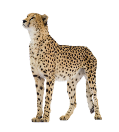 Lynx vector caracal. Png dlpng cheetah clipart