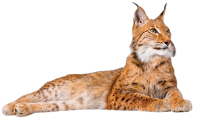 Lynx vector caracal. Png dlpng picture