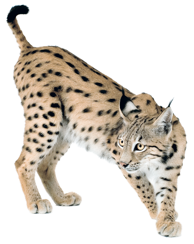 Lynx vector abstract. Png peoplepng com
