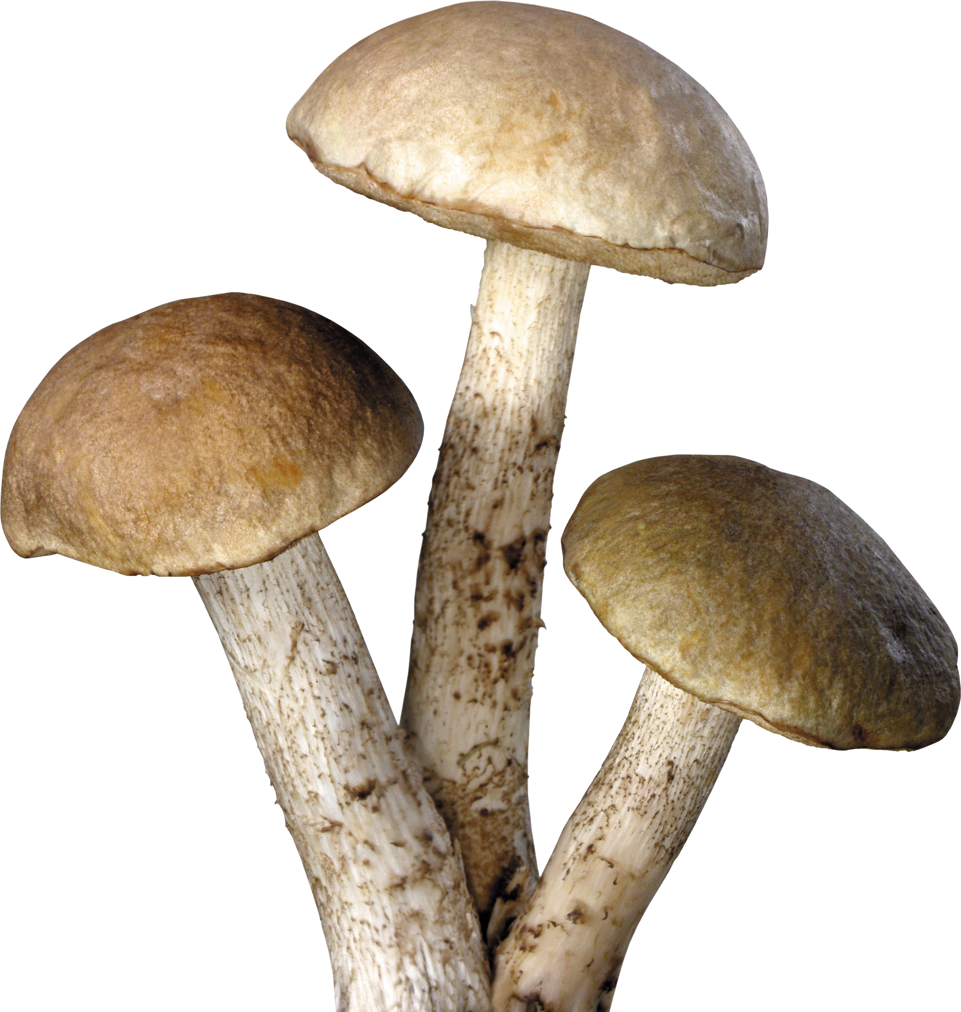 Mushroom png. Transparent pictures free icons
