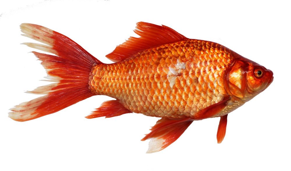 Magikarp transparent yelloweye rockfish. The real gyarados koaw