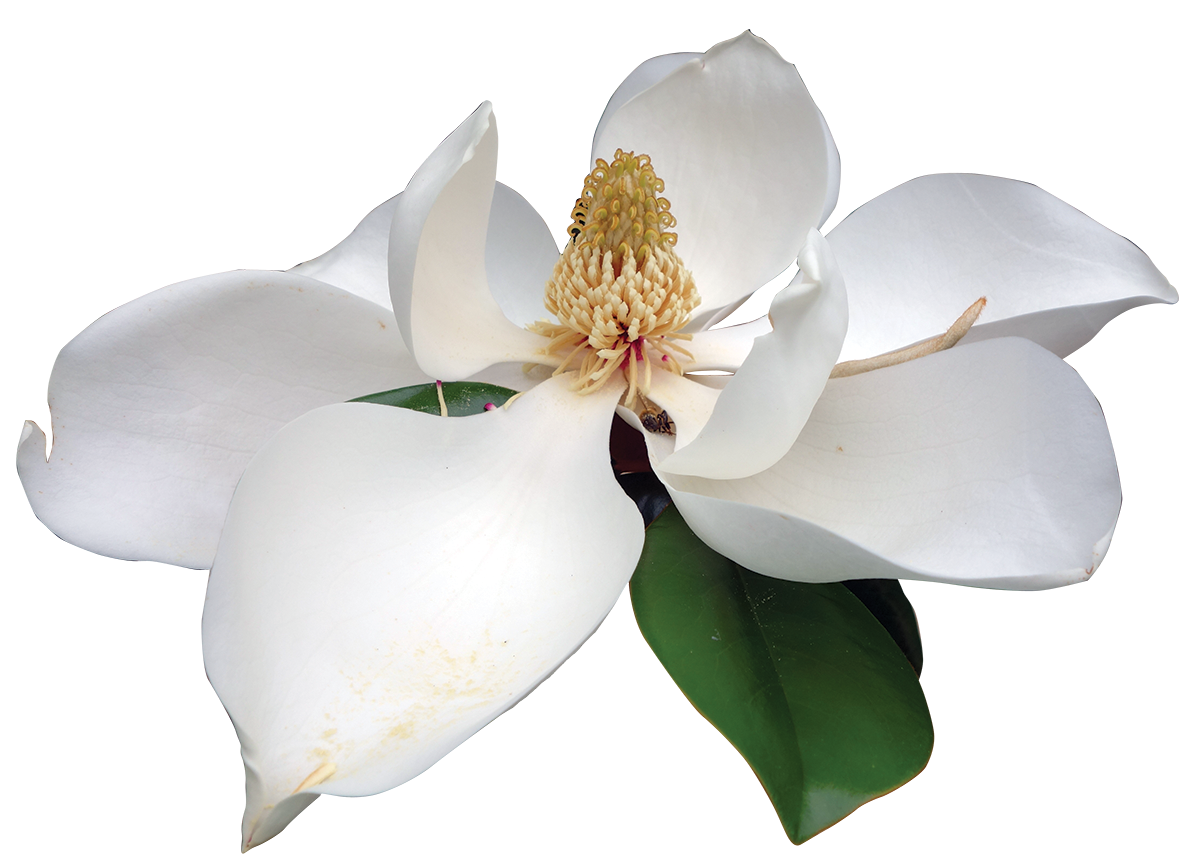 Magnolia flower png. Southern friends of the