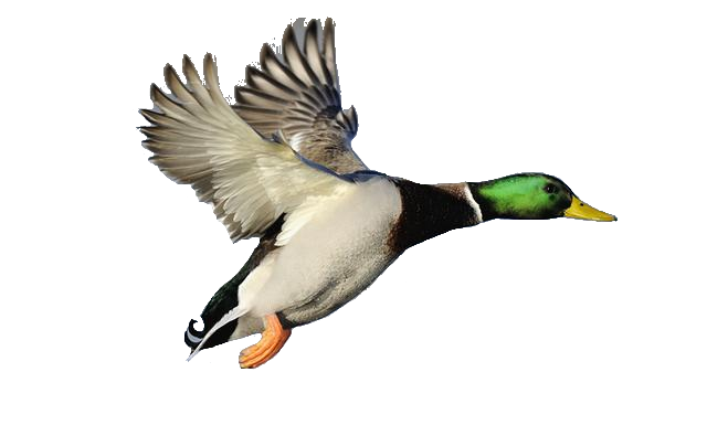 Mallard drawing simple. Collection of duck