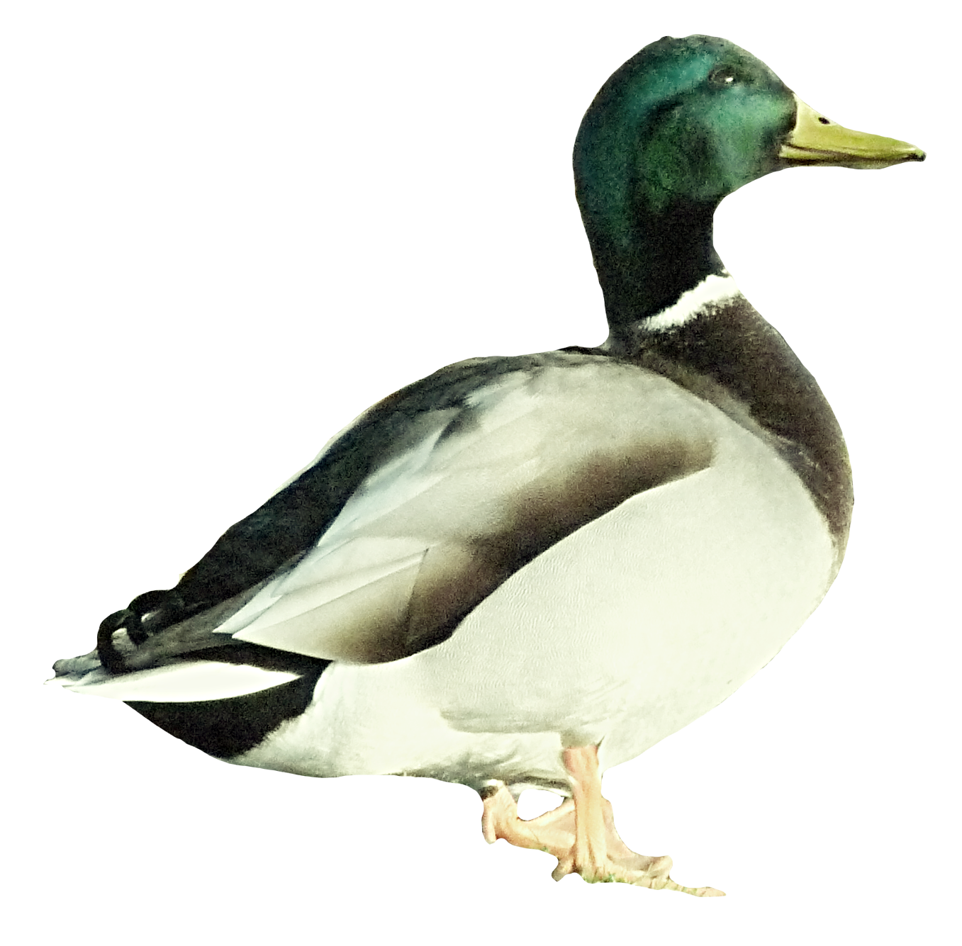 Mallard duck png. Transprent free download poultry
