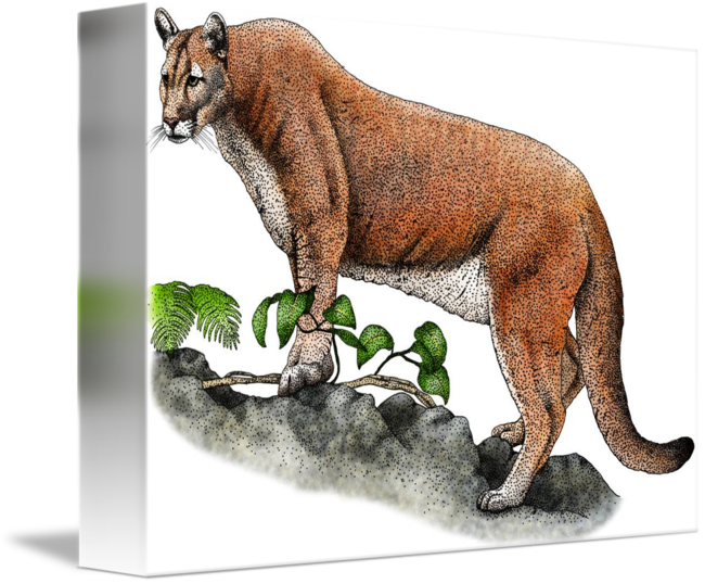 Mammal drawing florida panther. By roger hall