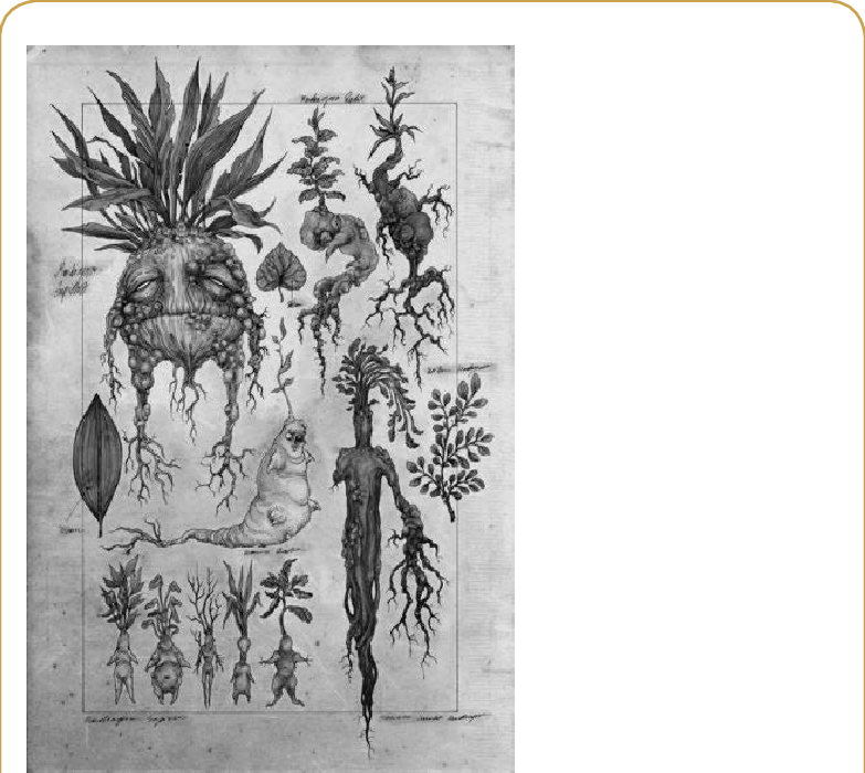 A botanical illustration about. Mandrake drawing clipart royalty free stock