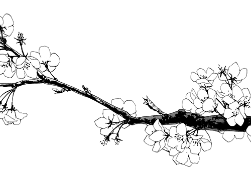 twig drawing cherry blossom