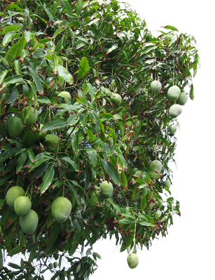 Mango tree png. Consult supporting development projects