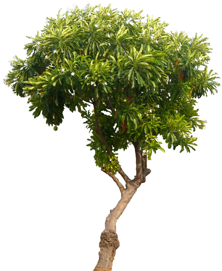 Mango tree png. Tropical plant pictures cerbera