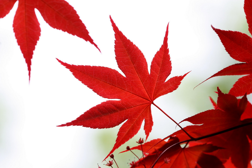 Drawing at getdrawings com. Maple clipart japanese maple png royalty free stock