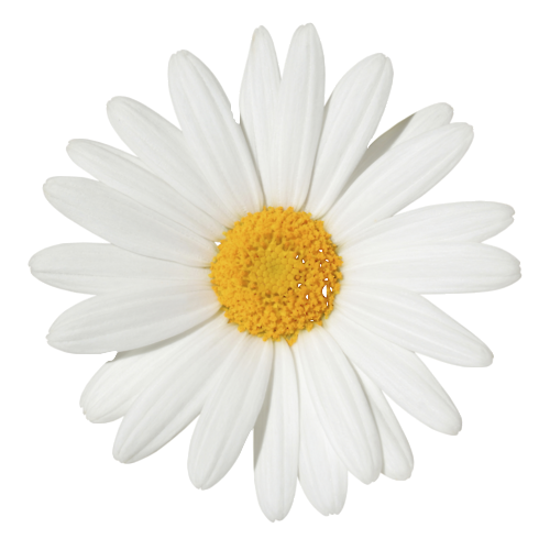 Flor margarita png. Shared by just fly