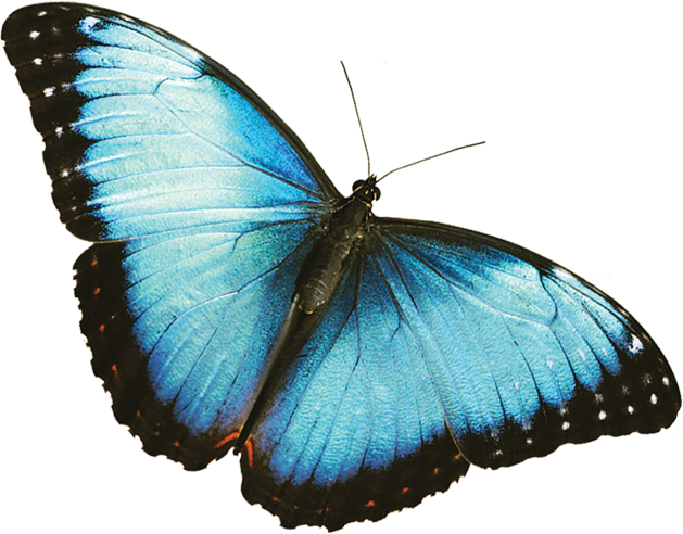 Mariposas azul rey png. The annual fred dorothy