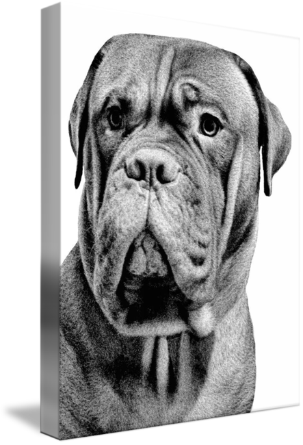 Mastiff drawing french. By pat cook