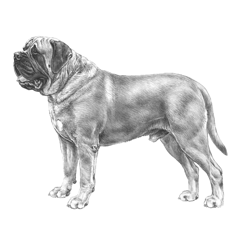 Mastiff drawing standard. Pedigreed breeds dogwellnet com
