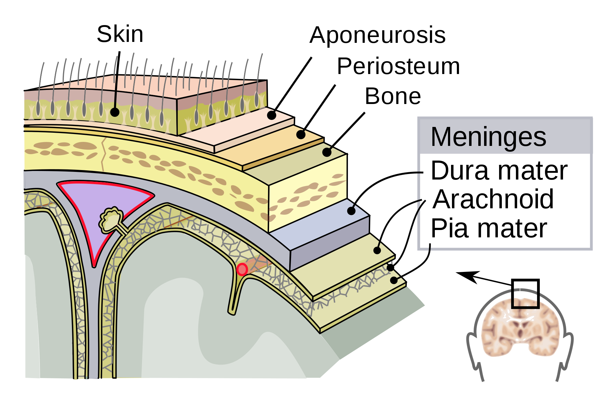 Mater drawing. Meninges wikipedia the dura