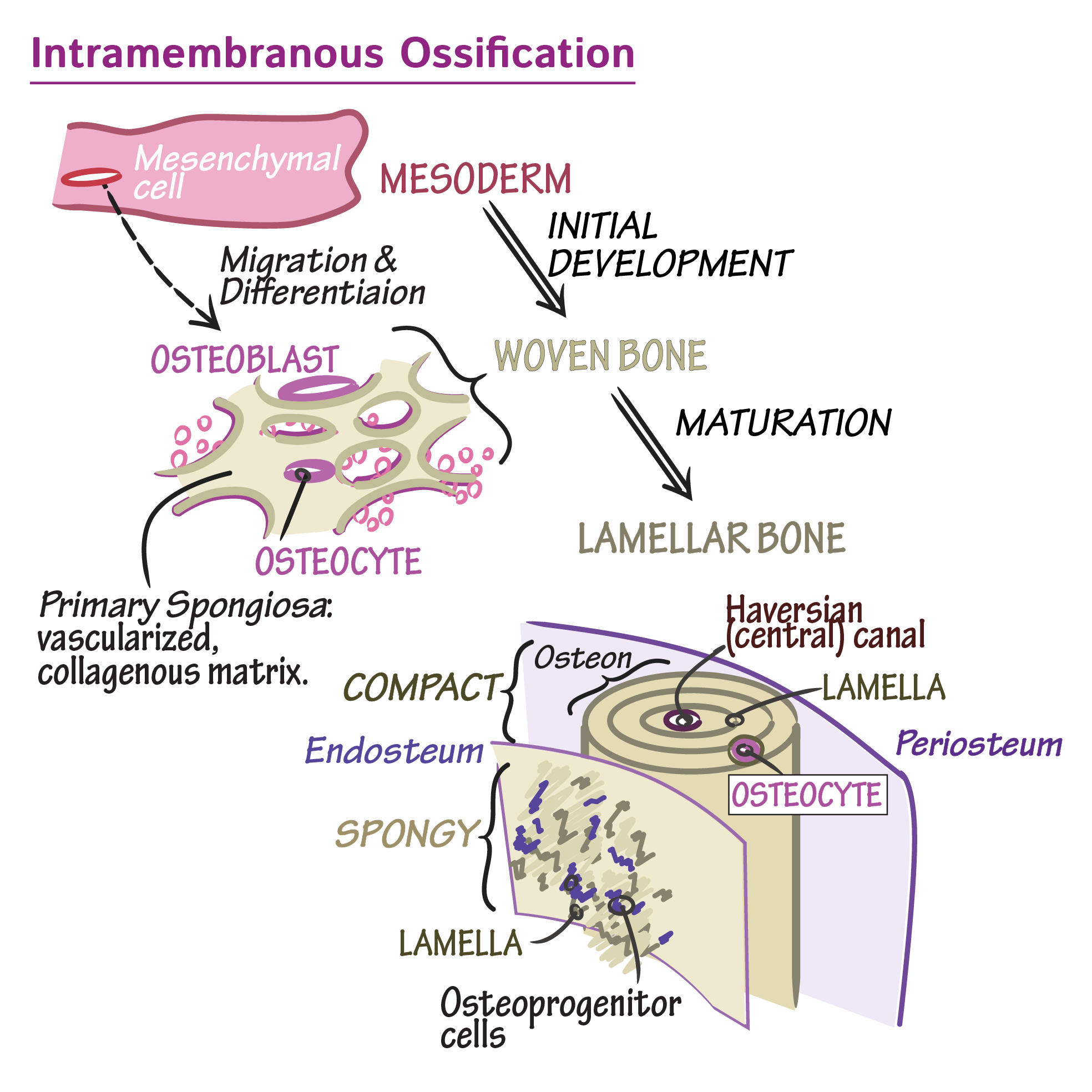 Migration drawing development. Histology glossary intramembranous ossification