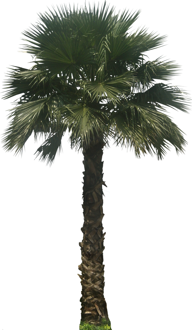 Foxtail palm png. A collection of tropical