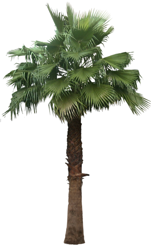 x with transparent. Mexican fan palm png graphic freeuse library