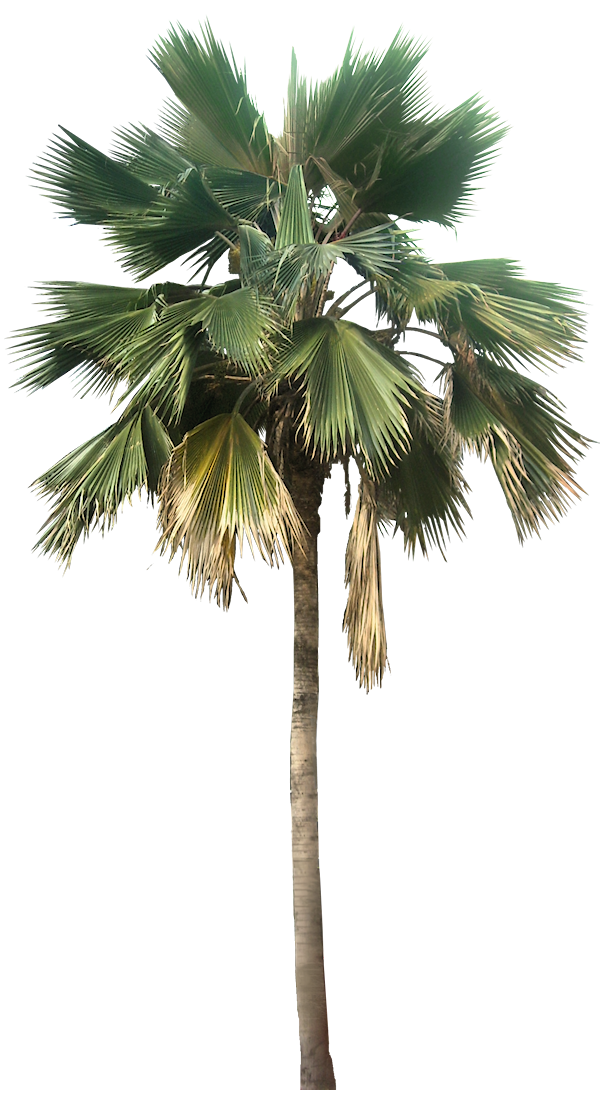 A collection of tropical. Mexican fan palm png clip