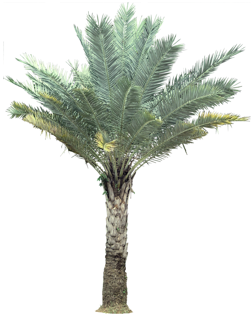 Mexican fan palm png. Cp paurb pictures medium black and white library