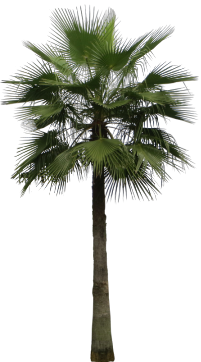 Mexican washingtonia png. Tropical plant pictures robusta