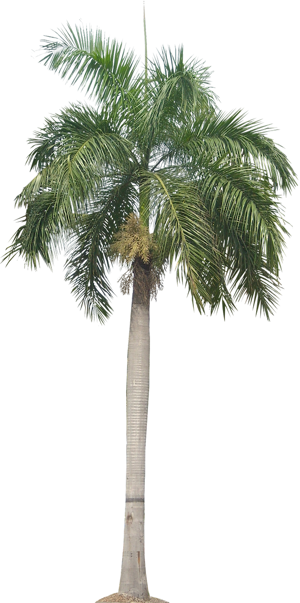 Sabal palm png. A collection of tropical