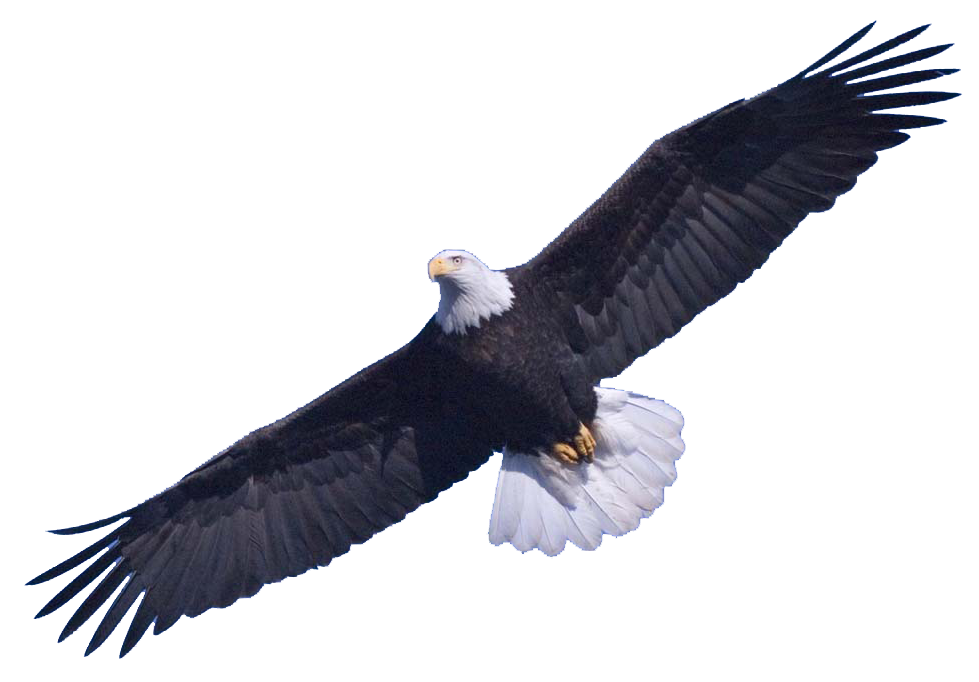 american bald eagle png