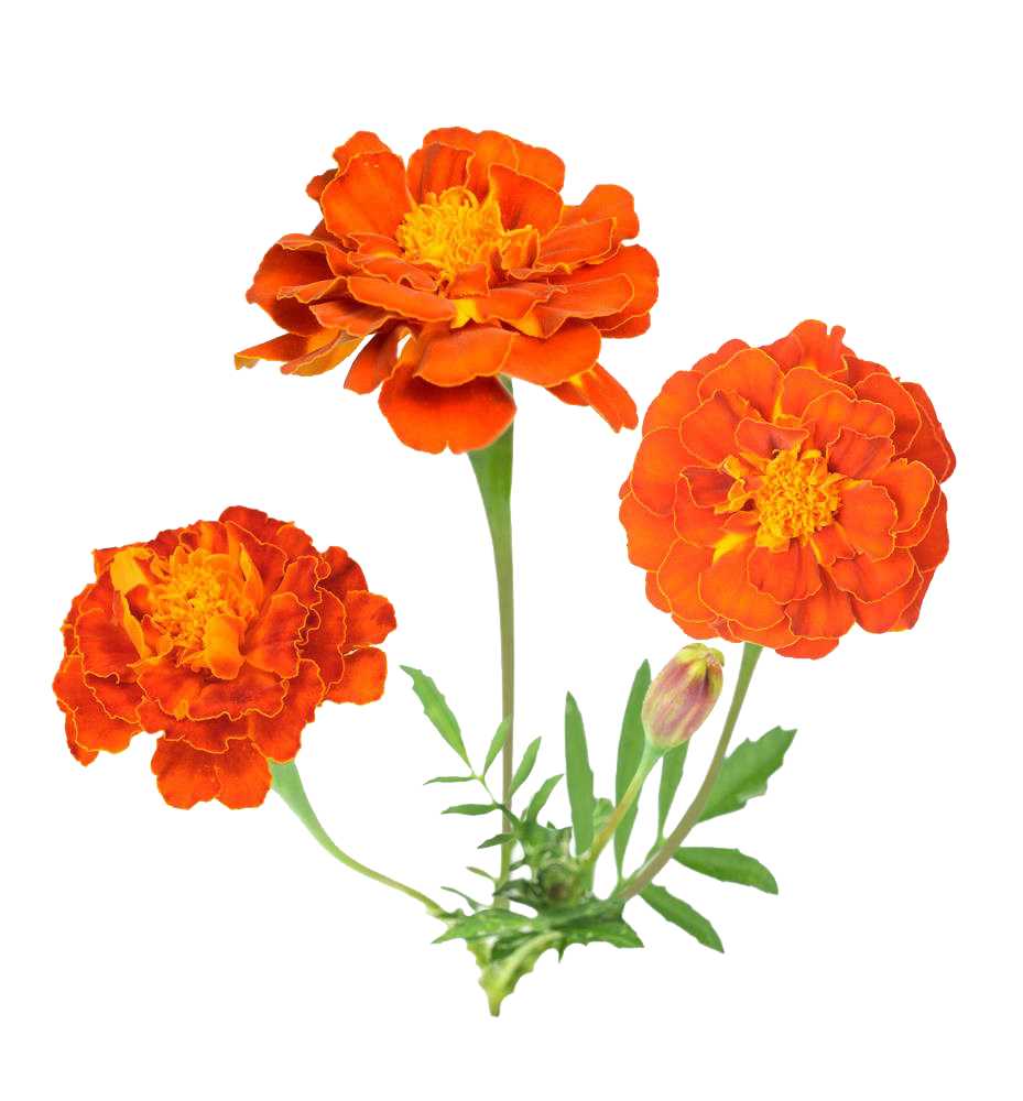 Mexican flowers png. Marigold flower stock photography