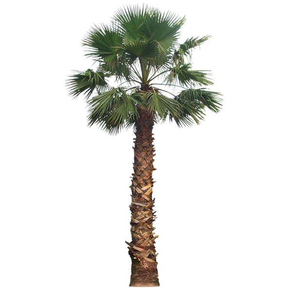 Mexican washingtonia png. Home property makeover by