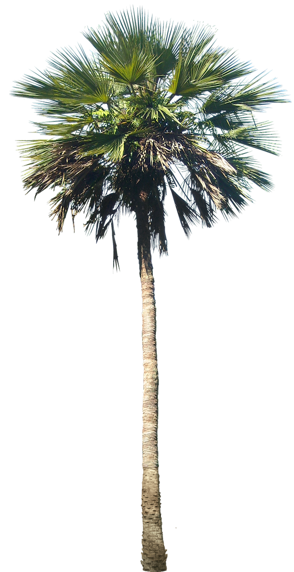 Mexican washingtonia png. Tropical plant pictures palm