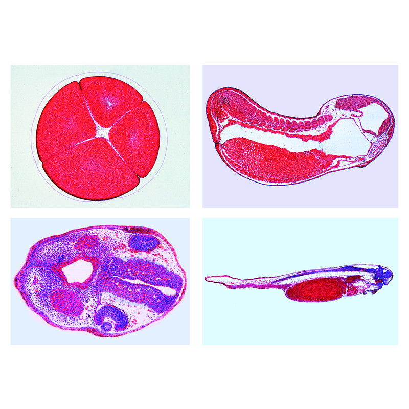 Microscope clipart microscope slide. Lieder the frog embryology