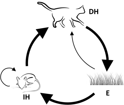 Mink drawing life cycle. The of toxoplasma gondii