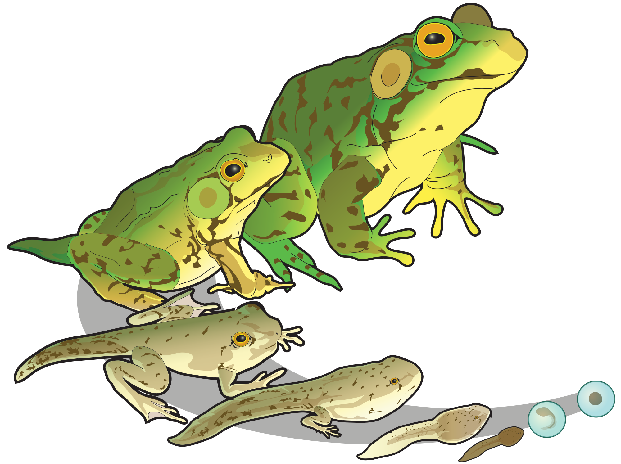 Mink drawing life cycle. Transparent clip frogs google