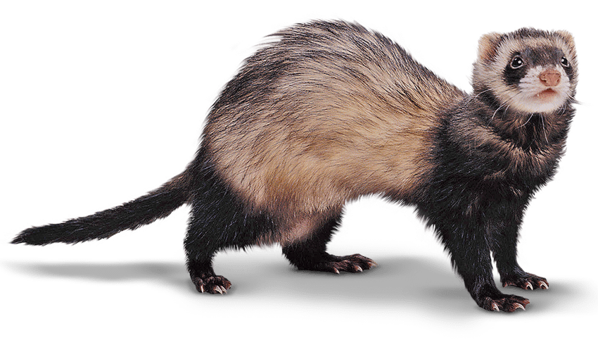 Mink drawing transparent. Image ferret large png