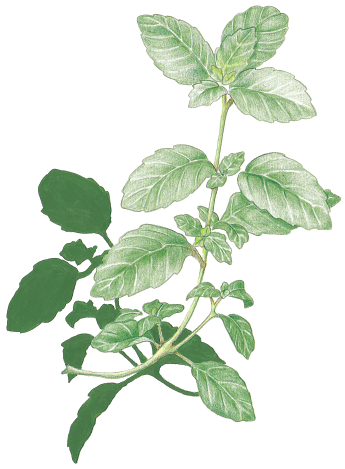 Mint flower png. Favourite herbs hole s