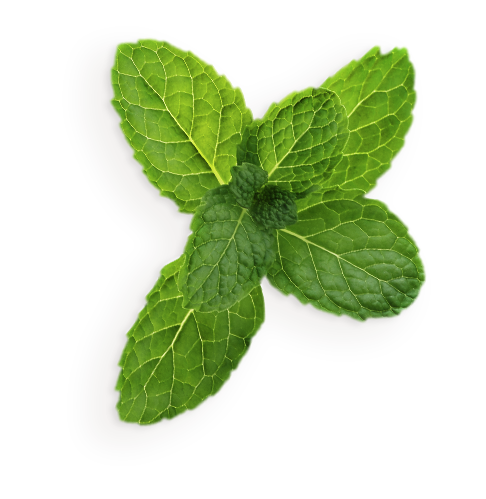 Mint flower png. Pepermint images free download