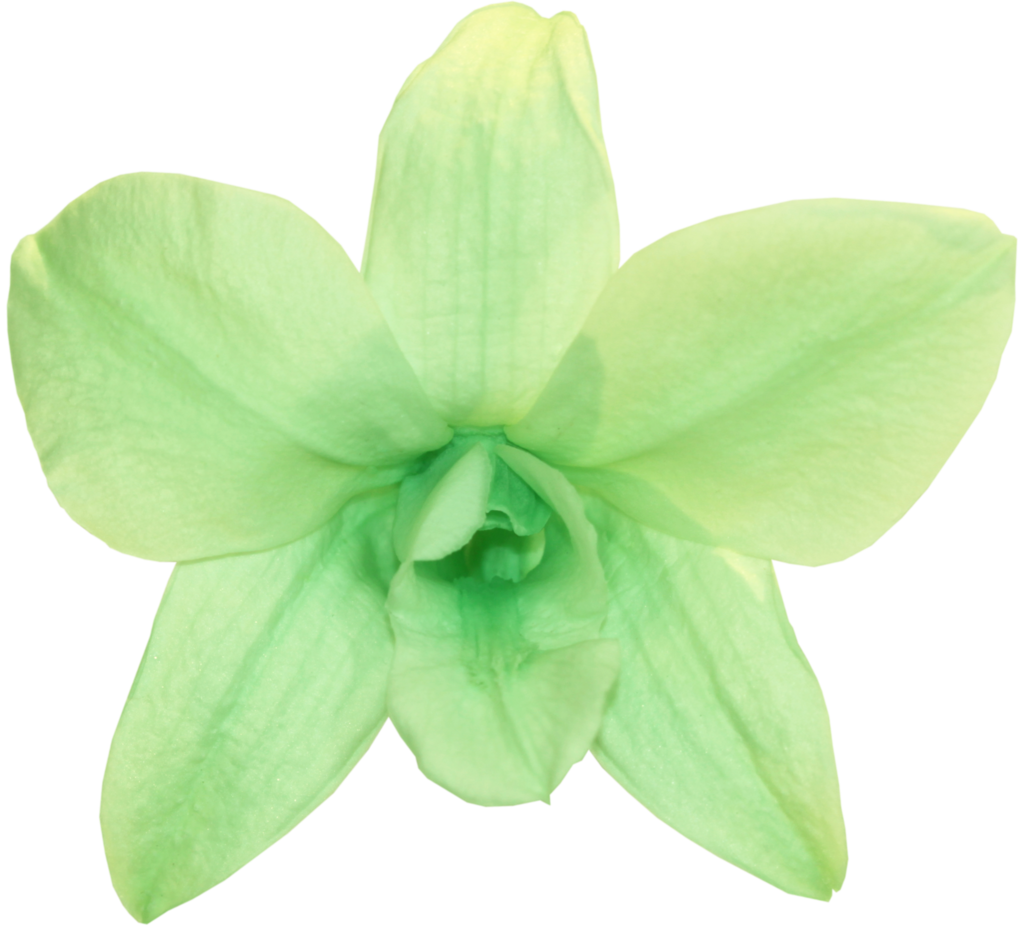 Mint green png. Orchid dendrobium verdissimo