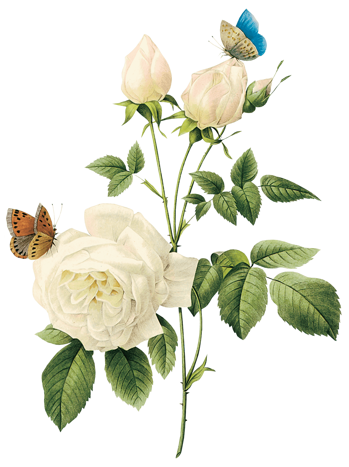 Mint green roses png. Download white rose image
