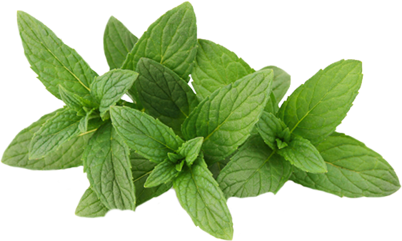 Peppermint drawing transparent. Mint png images all